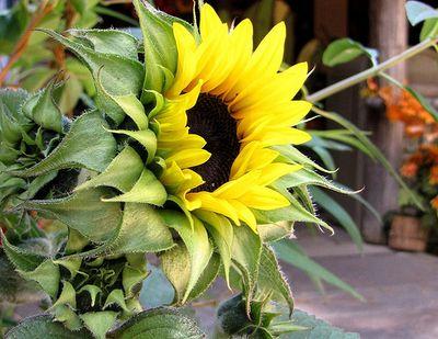 Happysunflower