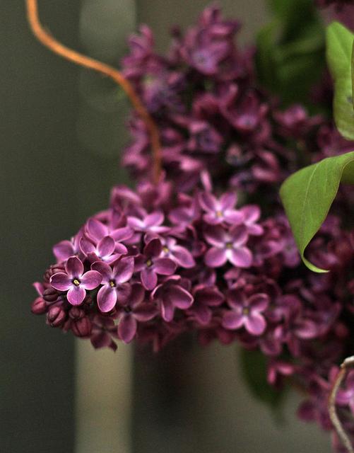 Lilacs closeup