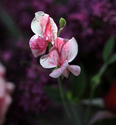 Closeup sweetpea
